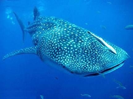 海南鲸鲨被捕捞出售,说明了什么